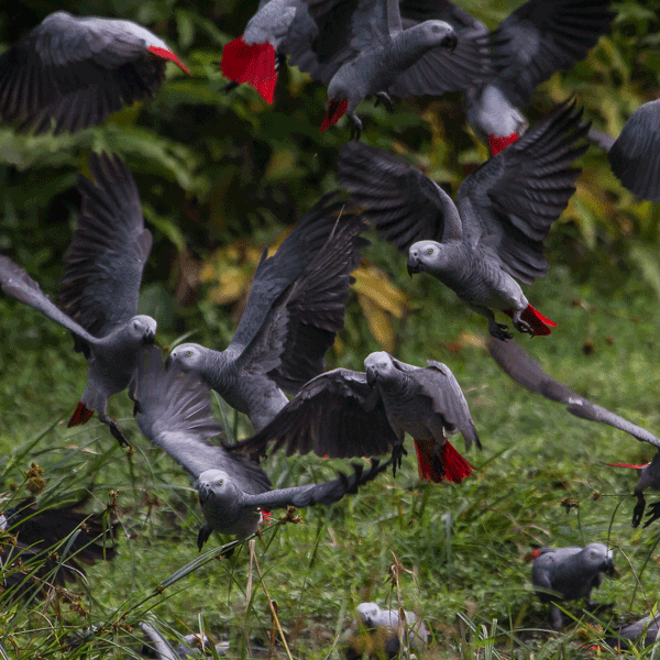 parrots-thumb